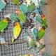 Предлагаю на продажу свою птицу: неразлучники фишеры зеленые, голубые...